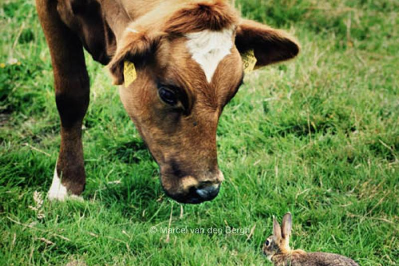 Image result for koe en konijn
